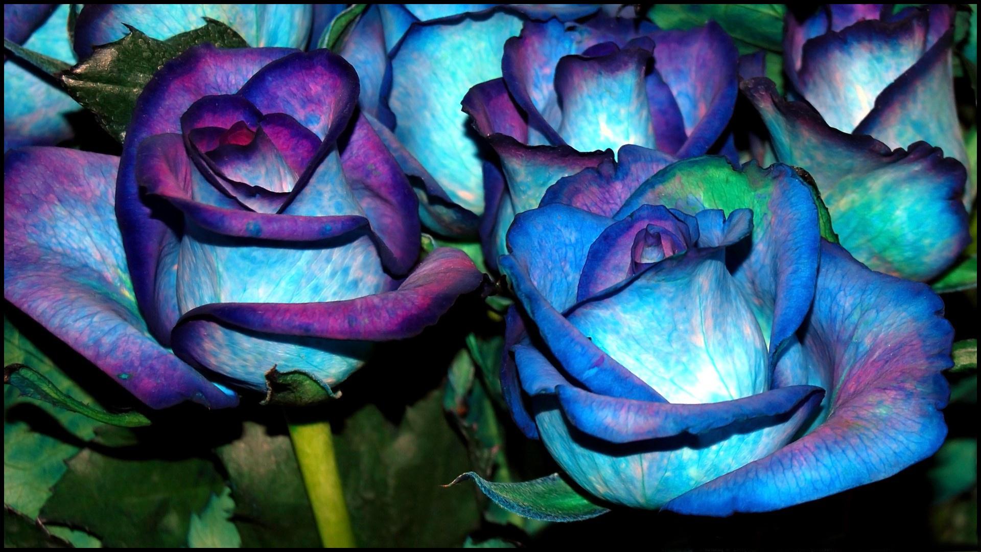 blue roses hd wallpaper | 1920x1080 | gludy