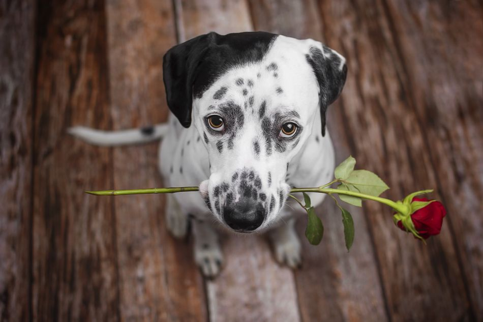 Dalmatian with roses