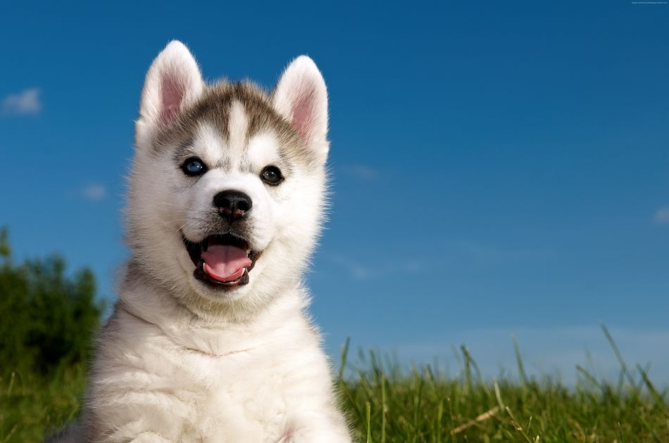 Husky Puppy Hd Wallpaper 4288x2848 Gludy Rh Com Funny Wallpapers For Android