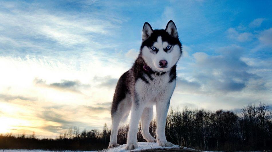 Siberian husky blue eyes hd wallpaper   1920x1080   Gludy