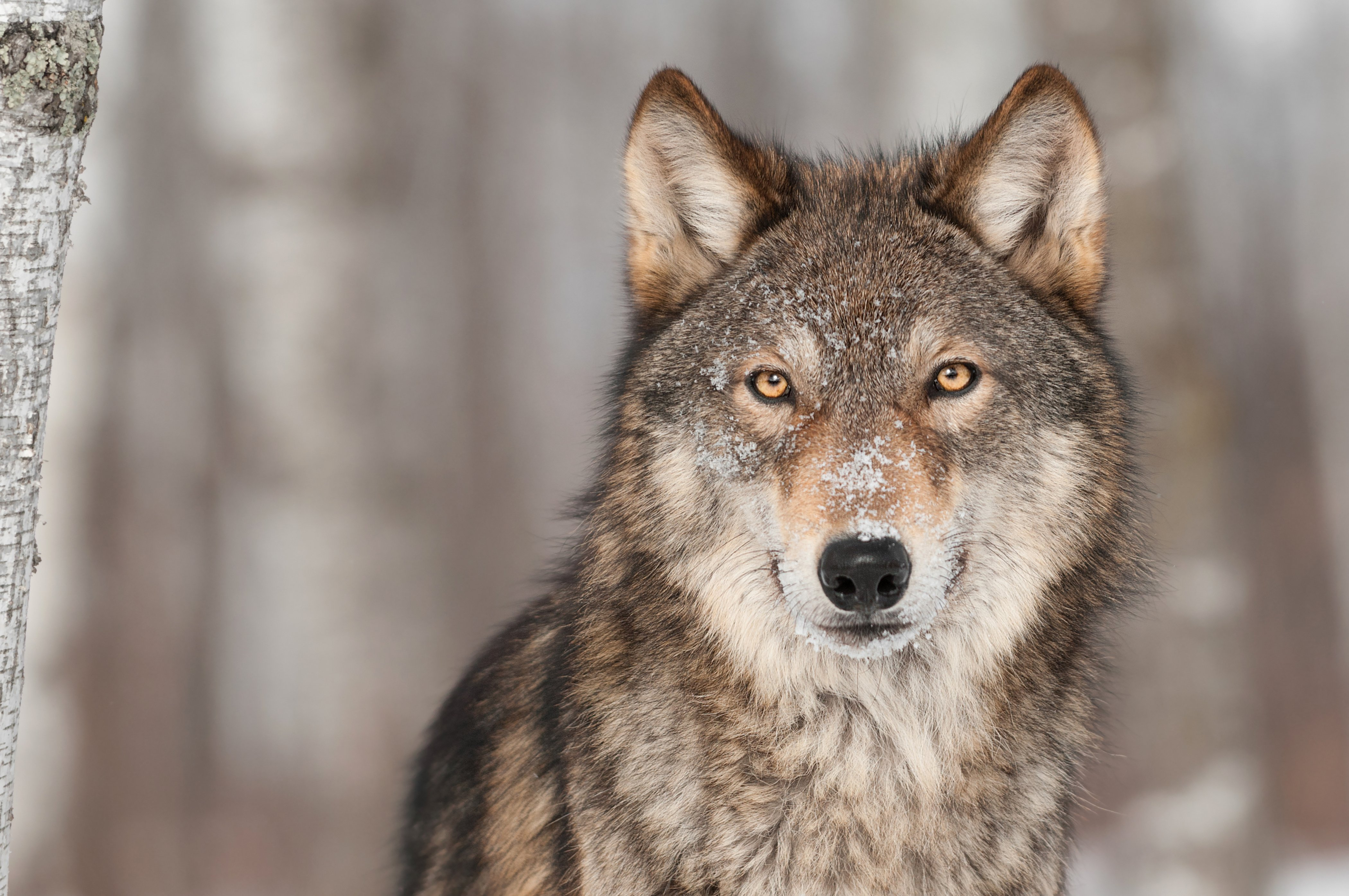 Amazing Wallpaper Macbook Wolf - Wolves-wallpaper  Picture_894020.jpg