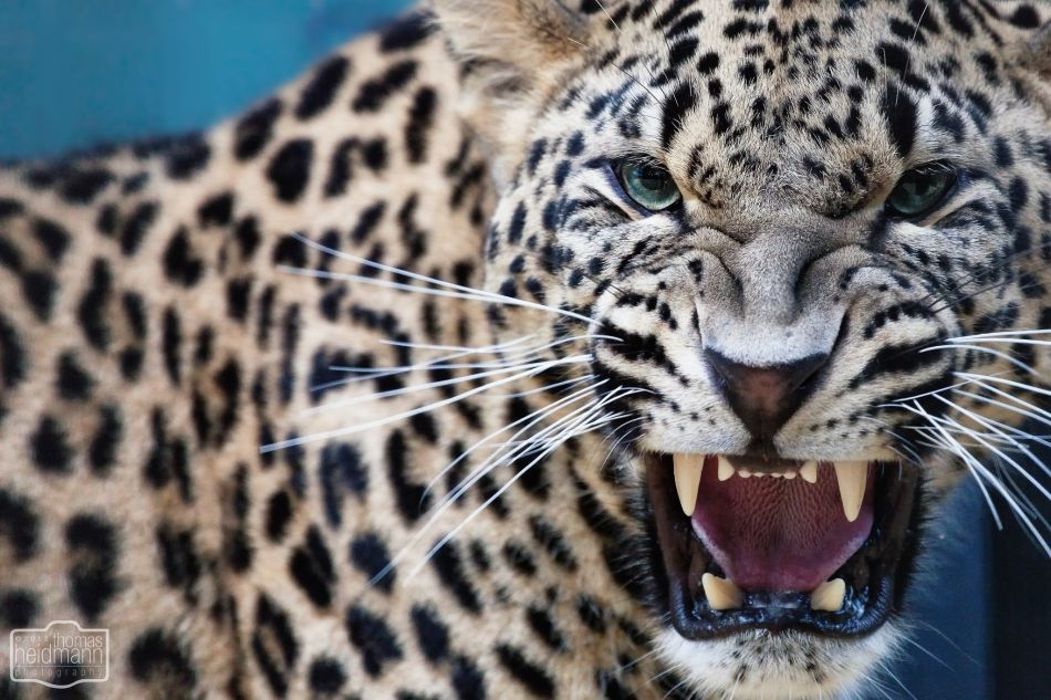 Leopards fangs