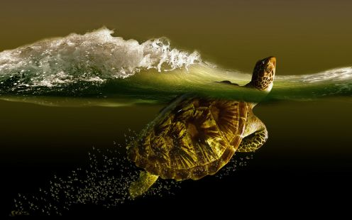 Turtle Wallpapers Gludy