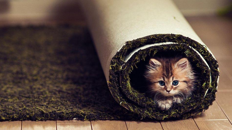 Cat Carpet Hd Wallpaper 1920x1080 Gludy