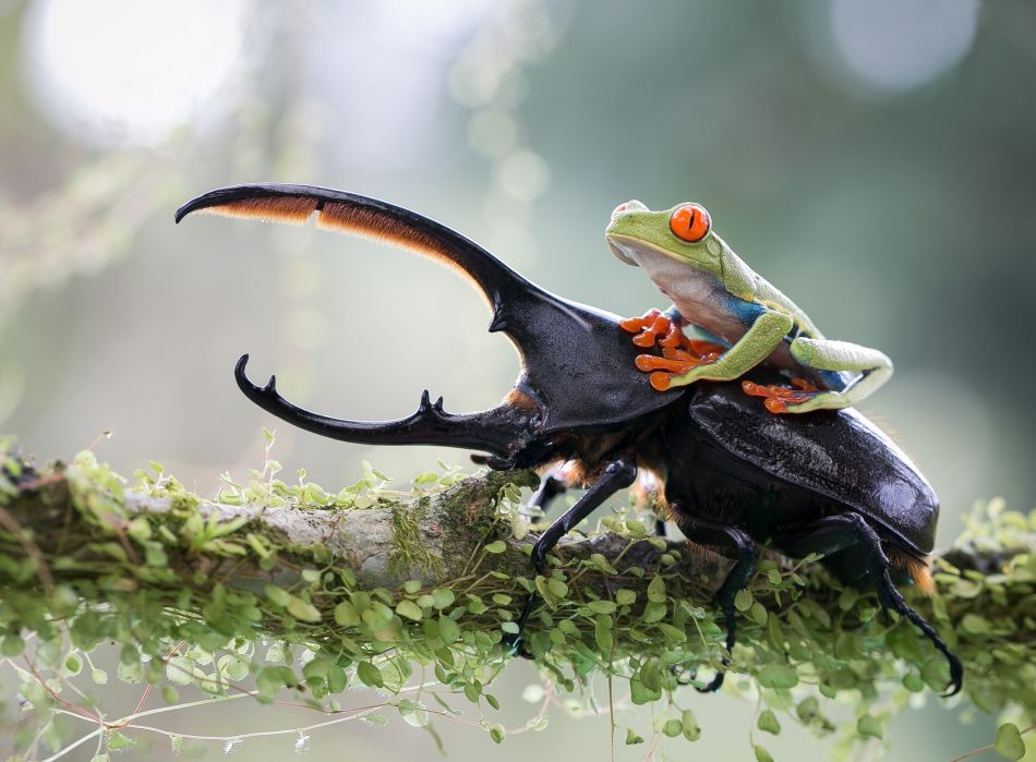 frog riding titan beetle